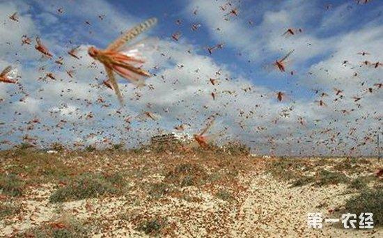 蝗虫危害什么作物?蝗虫过境寸草不生是真的吗?