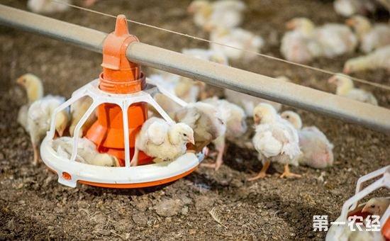 雏鸡饲养养殖技术