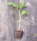 番茄树苗多少钱一棵?