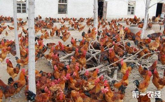 济宁百日鸡是什么鸡品种?