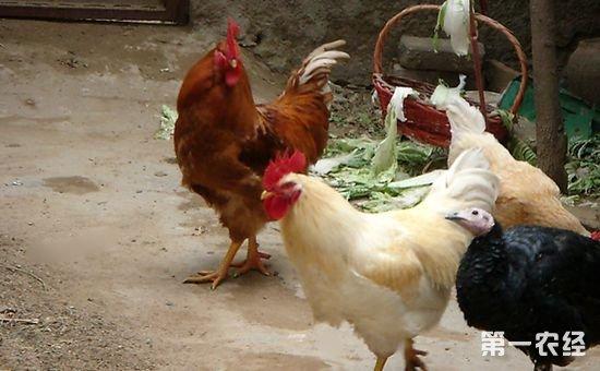 、蝴蝶等一样都是卵生动物。卵生,是动物受精卵在母体外孵化发育成为新个体的一种生殖方式。动物的受精卵在母体外独立发育的过程叫卵生。卵生的特点是在胚胎发育中,全靠卵自身所含的卵黄作为营养。卵生在动物中很普遍。   二、鸡是什么动物进化成的?   现在一般认为鸟类,包括鸡,都是由某种恐龙进化来的,曾经就发现恐龙化石周围有着羽毛的印记,比如孔子鸟,推测就是恐龙向鸟类进化中的一个过渡,当然都是那些小型恐龙进化过来了,大的基本都灭绝了。   美国北卡罗来纳州立大学研究人员发现,从一块6800万年前的暴龙骨头里提取的蛋