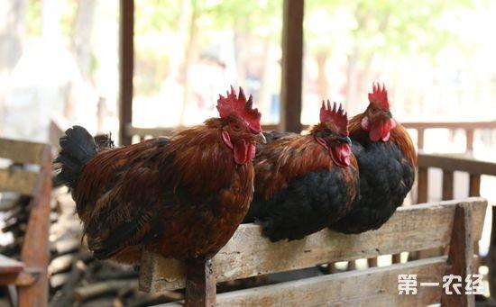 全新科学养鸡技术知识
