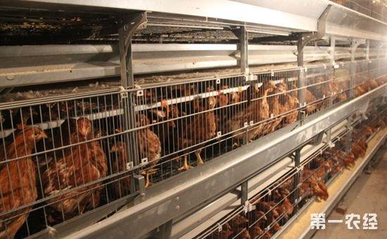 海兰褐蛋鸡体重标准与饲养标准