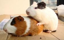 如何在冬季饲养荷兰猪?荷兰猪冬季饲养指南