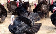 贝蒂纳火鸡孵化期的饲养管理