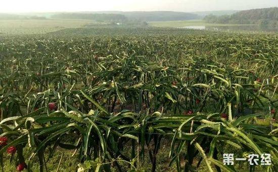 海南:火龙果反季节种植需要有技术支持