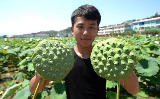 江西石城的白莲到了收获季
