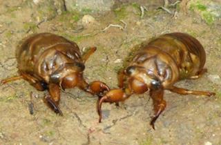【金蝉养殖专题】知了猴养殖|金蝉养殖技术