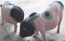 五指山猪多少钱一斤?