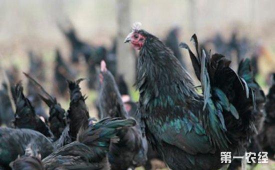 绿壳蛋鸡哪个品种好?绿壳蛋鸡品种有哪些?