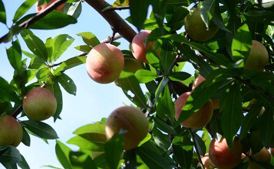 山东日照:科技助力设施果树产业发展