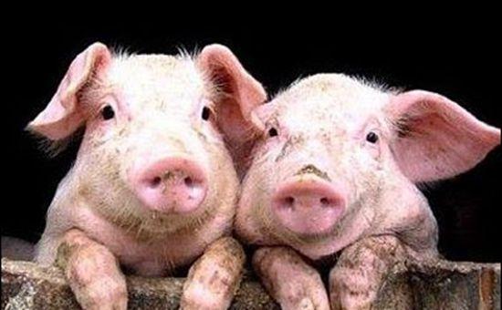 2017年最新生猪养殖补贴来啦!