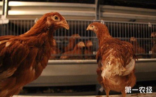 外来优质鸡品种——海兰褐壳蛋鸡
