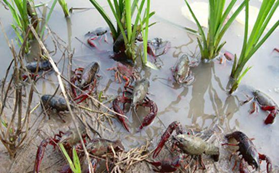 福建泉州:稻虾共生 一水两收