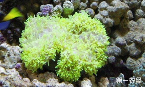 海葵是什么动物?海葵品种有哪些?