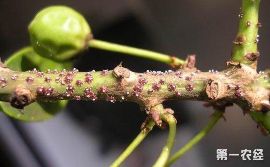 八角金盘常见虫害有哪些?如何防治?