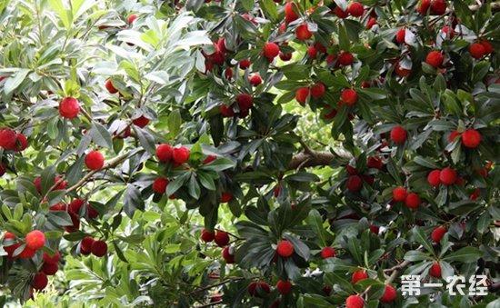 东魁杨梅怎么种?东魁杨梅种植技术