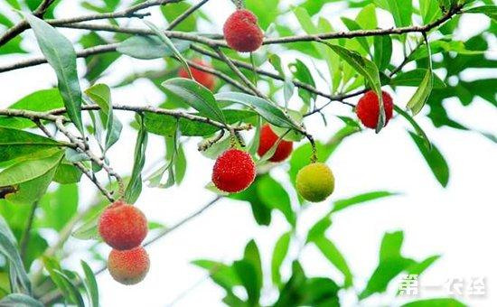 杨梅树可以扦插吗?杨梅树的繁殖方法