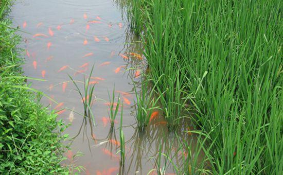 安徽稻渔综合种养已集成五大典型模式 正在向全省推广