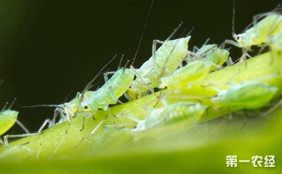 八角金盘蚜虫怎么防治?