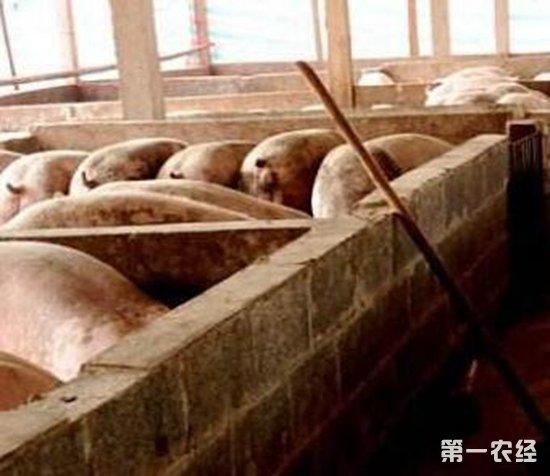 猪舍   猪舍温度主要是要把仔猪舍的温度控制好,小猪刚出生,最好是不低于30度,以33-35度为宜,可以用仔猪伞或者保育箱来保温。 随着猪的生长,温度可以慢慢降低。断奶前后温度在25度左右最好,断奶后就可以适应猪舍的温度了。断奶前一天后三天温度提高4度,可以有效避免断奶腹泻。 对于育肥猪和母猪,一般冬天都没有问题,夏天不能太高,超过30度就会影响肥猪的生长。总的来说,小猪怕冷,大猪怕热。大猪的舍温也不宜过低,温度越低饲料消耗越多。在北方的冬季要尽量保证温度不太低,太低除了影响饲料转化率,还会增加感染疾病