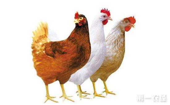蛋鸡品种性能