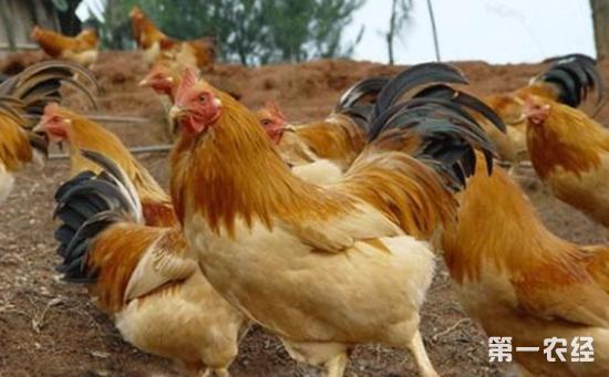 鸡败血支原体感染鸡病防治