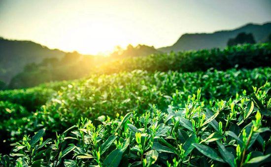 湖北宜昌:44万亩标准茶园助农增收