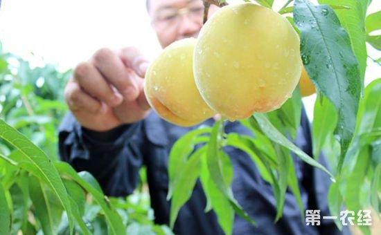 湖南炎陵:黄桃再丰收 已成主打产业