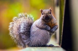 【松鼠专题】松鼠饲养专题|松鼠养殖|松鼠疾病