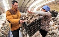 <b>大学生回乡种蘑菇 助力打赢脱贫攻坚战 带领村民齐致富</b>