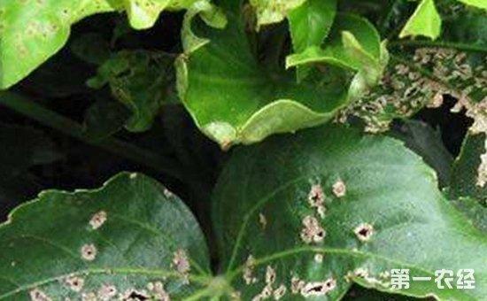 八角金盘炭疽病的病原和防治方法