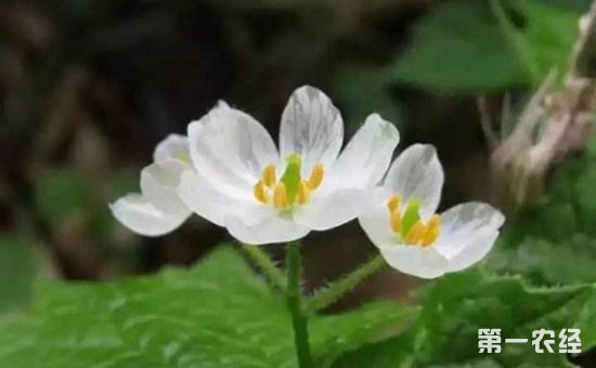 日本山荷叶中国有吗?山荷叶花语及图片欣赏