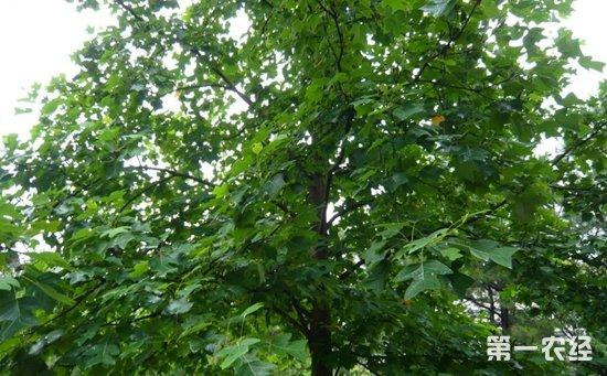 【小编结语】梓树并不是梧桐树,两者在科属,植物形态,生长习性