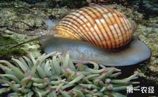 海生种类有鲍,马蹄螺,笠贝,红螺,宝贝,骨螺等.