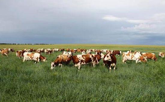 内蒙古成为全国最大牛羊种业基地