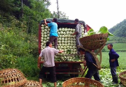 三峡库区秭归县杨林桥镇蔬菜滞销 经过多方助力滞销蔬菜基本得到解决