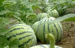 各地西瓜都在滞销为何这的西瓜20元一斤还畅销?有什么奥秘吗?