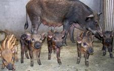 野猪价格:特种野猪多少钱一只?