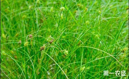 水稻田常见的杂草有哪些?水稻田杂草图谱