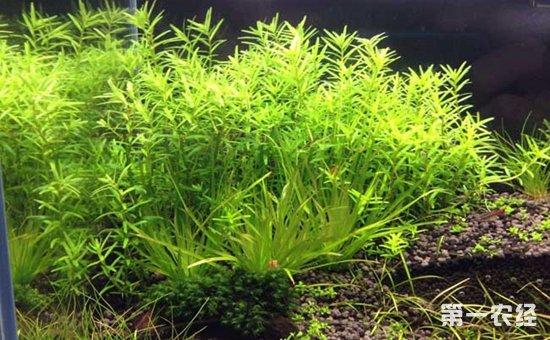 普通鱼缸可以养水草吗?鱼缸养水草的好处