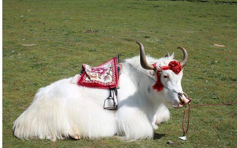 青海白牦牛文化助力门源畜牧旅游产业