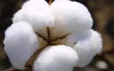 埃及将在2018/2019年将棉花种植面积扩大到103.8万英亩