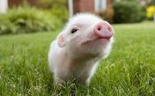<b>茶杯猪多少钱一只?</b>