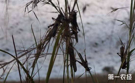 蝗灾时蝗虫真的吃人吗?现代蝗灾怎么治?