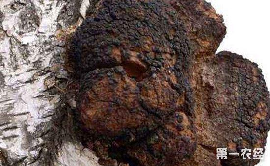 桦树泪和桦树茸有何区别?