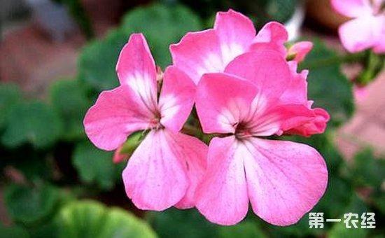 臭海棠花能活几年?天竺葵就是臭海棠吗?