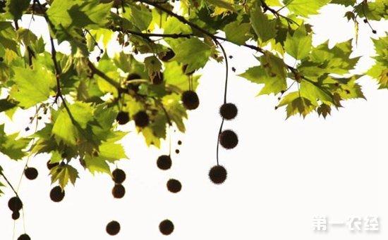 怎么区分悬铃木和梧桐?悬铃木和梧桐的区别