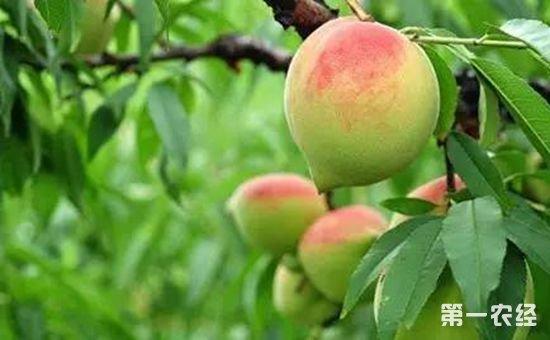 浙江庆元:百亩桃园迎来丰收季