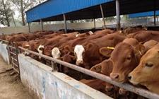 山东阳信,畜牧业的创新转身